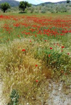 Poppy field, natural cure.